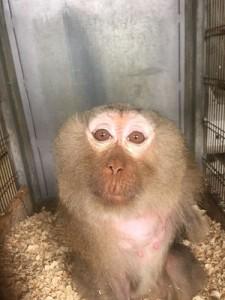 scimmia piera